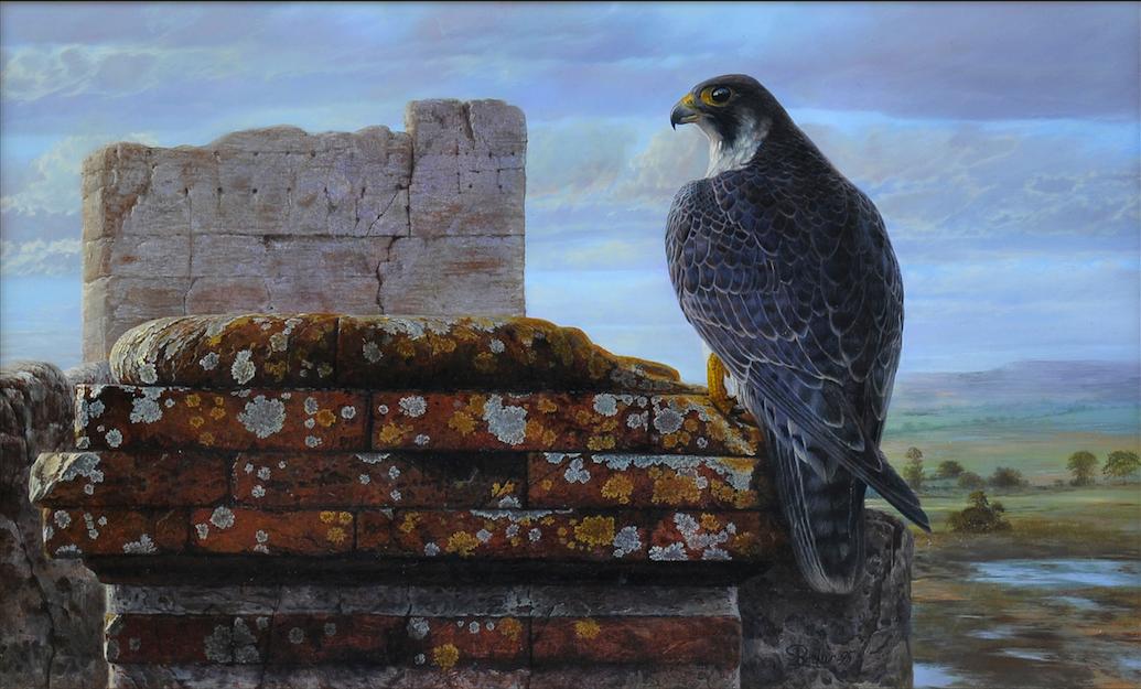 Halcon Peregrino en la torre | Pepe Parrales